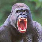 Gorilla_8